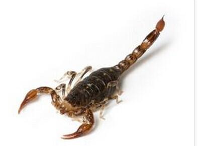 属节肢动物门蛛形纲蝎目